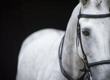Portrait de cheval gris sur le fond noir Photographie stock libre de droits