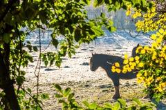 Portrait de cheval par des feuilles dans le lever de soleil froid brumeux avec la vapeur des narines - Angleterre, R-U Images stock