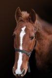 Portrait de cheval rouge image libre de droits