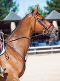 Portrait de cheval sautant Photographie stock