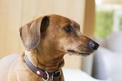 Portrait de chien Image stock