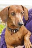 Portrait de chien Images libres de droits