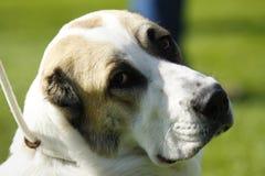 Portrait de chien Photographie stock libre de droits