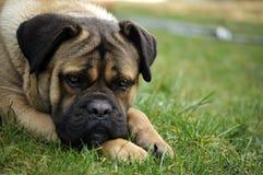 Portrait de chien Photographie stock