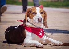 Portrait de chien de briquet photographie stock