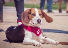 Portrait de chien de briquet images stock