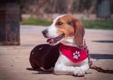 Portrait de chien de briquet photo stock