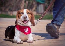 Portrait de chien de briquet photographie stock libre de droits