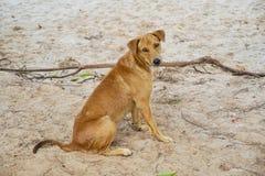 Portrait de chien brun se reposant regardant la caméra sur la plage de sable photos stock