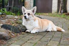 Portrait de chien de corgi Photo stock