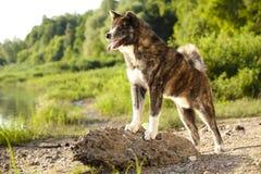 Portrait de chien d'inu d'Akita Image libre de droits