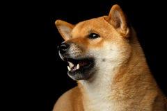 Portrait de chien d'inu de Shiba de tête, fond noir d'isolement Image libre de droits