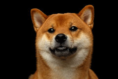 Portrait de chien d'inu de Shiba, fond noir d'isolement Images libres de droits