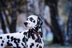 Portrait de chien dalmatien noir et blanc Photographie stock