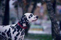 Portrait de chien dalmatien noir et blanc Image stock