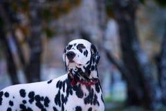 Portrait de chien dalmatien noir et blanc Image libre de droits