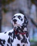 Portrait de chien dalmatien noir et blanc Photo libre de droits