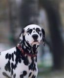 Portrait de chien dalmatien noir et blanc Photo stock