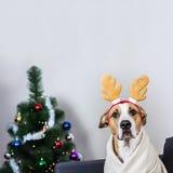Portrait de chien dans le bandeau de renne de Noël devant l'arbre de fourrure Photo stock