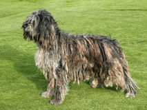 Portrait de chien de berger de Bergamasco Photographie stock