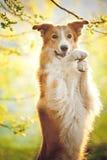 Portrait de border collie sur le fond de soleil Photo stock