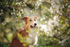 Portrait de chien de border collie au printemps image stock