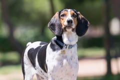 Portrait de chien de chasse avec un regard idiot Photographie stock libre de droits