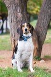 Portrait de chien de chasse beau à un parc Photos libres de droits