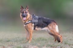 Portrait de chien de loup (berger allemand) Photo libre de droits