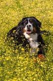 Portrait de chien de montagne de Bernese dans le paysage de fleurs - verticale Photographie stock