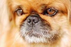 Portrait de chien de pékinois Images stock
