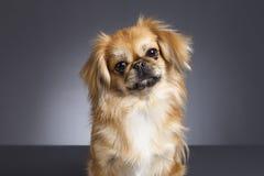Portrait de chien de pékinois Photos stock