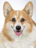 Portrait de chien de Pembroke de corgi de Gallois Photographie stock libre de droits