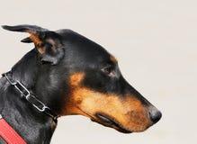 Portrait de chien de Pinscher de dobermann Photographie stock
