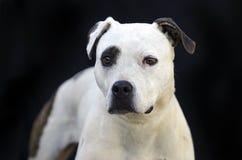 Portrait de chien de Pitbull Terrier sur le fond noir Photographie stock