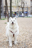 Portrait de chien de Samoyed Photo libre de droits