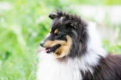 Portrait de chien de Sheltie Photographie stock