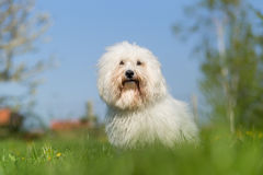 Portrait de chien de Tulear de coton Photo stock