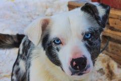 Portrait de chien enroué de traîneau de sports en hiver images stock