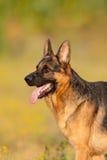 Portrait de chien extérieur photos stock