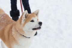 Portrait de chien japonais d'akita le jour neigeux photos libres de droits