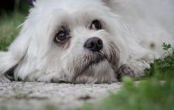 Portrait de chien maltais recherchant se situant dans l'herbe photos stock
