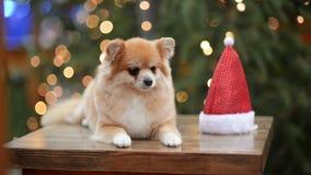 Portrait de chien mignon en Santa Hat Concept de Joyeux Noël et de bonne année banque de vidéos