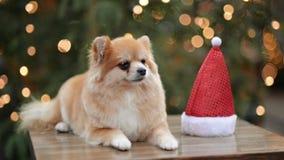Portrait de chien mignon en Santa Hat Concept de Joyeux Noël et de bonne année clips vidéos