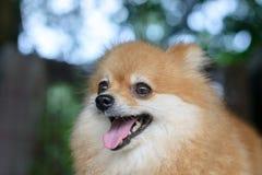 Portrait de chien pomeranian mignon Image stock