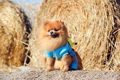 Portrait de chien pomeranian mignon Autumn Dog Chien dans un domaine Photographie stock