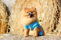 Portrait de chien pomeranian mignon Autumn Dog Chien dans un domaine Photographie stock libre de droits