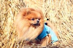 Portrait de chien pomeranian mignon Autumn Dog Chien dans un domaine Image stock