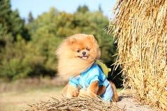 Portrait de chien pomeranian mignon Autumn Dog Chien dans un domaine Image libre de droits