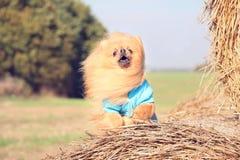 Portrait de chien pomeranian mignon Autumn Dog Chien dans un domaine Images libres de droits